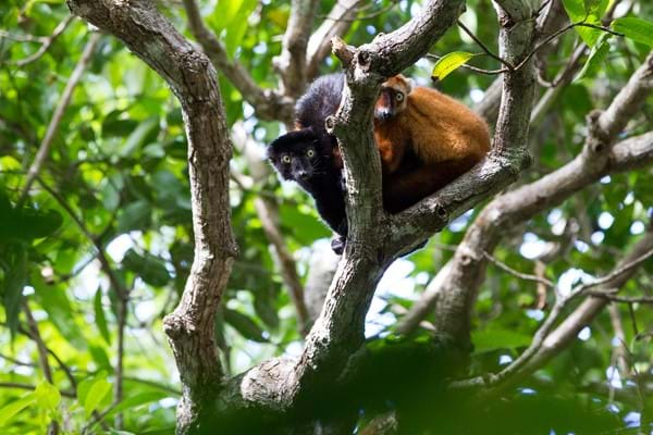 Blue-eyed black lemur project